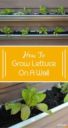 Growing lettuce vertically is perfect for those with limited garden space, whether that be a small patio or a balcony. With a very small investment (less than $15) and no fancy tools, you can build, plant and harvest your own greens (and look totally cool while doing it).  It's easy! http://www.ehow.com/how_8326216_grow-lettuce-wall.html?utm_source=pinterest.com&utm_medium=referral&utm_content=freestyle&utm_campaign=fanpage