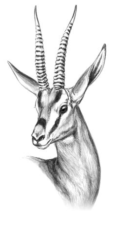 Cuvier's Gazelle - Google Search