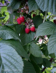 Strawberry season is almost over. We only have just a few more berries on the plants. I'm just a little sad over the close of strawberry season.   But I'm so happy to have #raspberries to pick in our #garden.   #gardening #berries