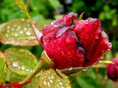 Rosa rociada