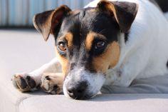 Jessy Jack Russel Terrier | Pawshake
