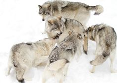 Timber wolves playing in the snow Animals photo by JimCumming http://rarme.com/?F9gZi