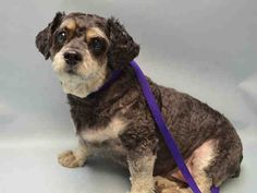GUCCI PULLED BY GIMME SHELTER ANIMAL RESCUE INC. - 08/20/15 - TO BE DESTROYED - 08/19/15 - GUCCI - #A1047087 - Super Urgent Brooklyn - NEUTERED MALE GRAY/WHITE YORKSHIRE TERR/POODLE MIX - OWNER SUR - EVALUATE, HOLD FOR ID Reason PERS PROB Intake Date 08/07/15 Due Out 08/07/15
