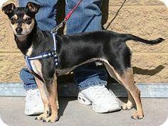Gilbert, AZ - Manchester Terrier Mix. Meet Turby a Dog for Adoption.