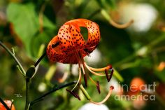 Spotted Orange Lily - Available in prints, framed prints, canvas prints, acrylic prints, metal prints, greeting cards.