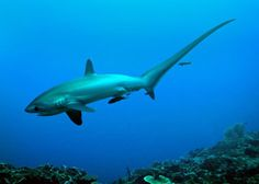 Malapascua Island in the Philippines for some of the best scuba diving in the world. Dive with thresher sharks, manta rays and much more. Deep Water, Deep Sea, Thresher Shark, Best Scuba Diving, Hai, Ocean Life, Big Eyes, Marine Life, Sea Creatures