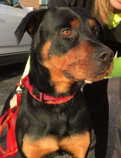 Meet Nash, an adoptable Rottweiler looking for a forever home. If you're looking for a new pet to adopt or want information on how to get involved with adoptable pets, Petfinder.com is a great resource.