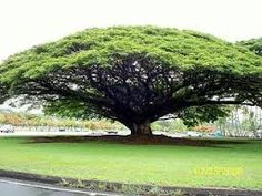 sandalwood tree - Google Search
