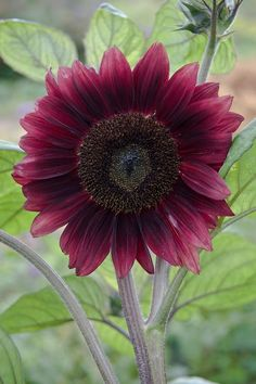 Dark red sunflower 'Black Magic'   (Helianthus annuus), early August.