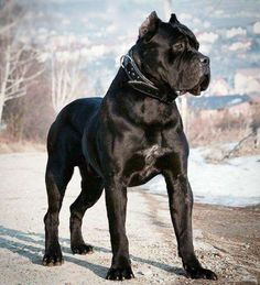 Venomous Female Dog Costumes dogwalk FemaleDogsAccessories is part of Cane corso dog - Cane Corso Italian Mastiff, Cane Corso Mastiff, Cane Corso Dog, Cane Corso Puppies, Mastiff Dogs, Big Dogs, Cute Dogs, Dogs And Puppies, Doggies