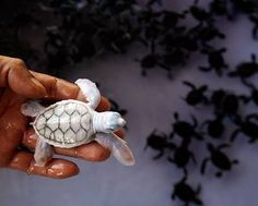 Albino turtle. Its shell is beautiful.