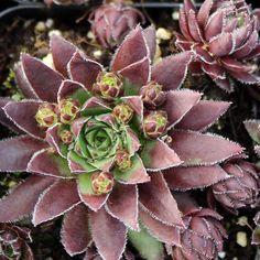 Brock 5cm Outdoor Succulent Plant Houseleek Sempervivum Hens /& Chicks
