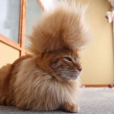 Persian Cat Haircut Mohawk Cat - Funny Cat Video - Woman's Day - Enjoy this funny video to get you through the work day Funny Cat Videos, Funny Cats, Funny Animals, Cute Animals, Cool Cats, I Love Cats, Cat Haircut, Gatos Cool, Unique Cats