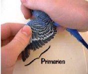 pene primare perusi Baby Animals, Animal Babies, Bird Wings, Budgies, Pet Care, Pet Birds, Parrot, Pets, Parrot Bird