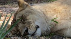 Petition · USDA: No More Lion Burgers! Ban the Sale of Lion Meat · Change.org