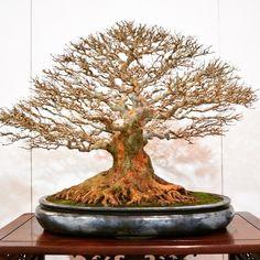 Beautiful bonsai displayed at the Kokufuten (Japan) #bonsai #盆栽 #盆景 #bonsaitree #nature #trees