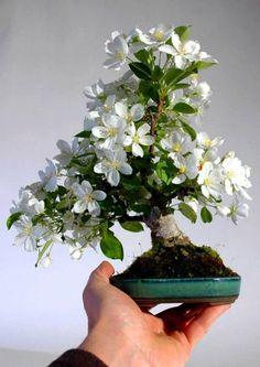 Right Bonsai Tree Pots Is Very Important Cherry Bonsai, Bonsai Fruit Tree, Flowering Bonsai Tree, Bonsai Tree Types, Indoor Bonsai Tree, Bonsai Art, Bonsai Plants, Bonsai Garden, Trees To Plant