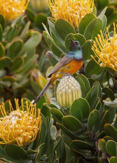 Leucospermum & Cape Sugarbird
