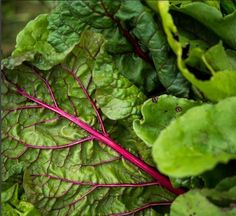 We just can't get enough of the simple beauty of our rainbow chard. Brings so much life and colour to our eatfitfood meals 🌱🍃