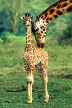 Baby & Mama Giraffe
