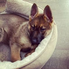 Kijiji - Buy, Sell & Save with Canada's Local Classifieds German Shepherd Puppies, German Shepherds, Puppies For Sale, Dogs And Puppies, Social Environment, Humane Society, Small Dogs, Corgi, Pets