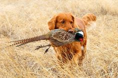Golden Retriever | The 10 Best Bird Hunting Dogs For All Types Of Game And Hunts