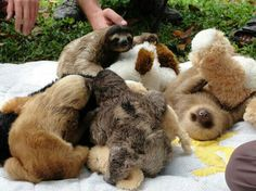 sloths. snuggling with teddy bears.