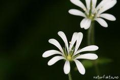 Skogstjerneblom - Stellaria nemorum - Naturfakta