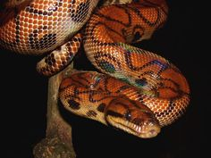 rainbow boa (Epicrates cenchria) Boa Constrictor, Beautiful Snakes, Animals Beautiful, Brazilian Rainbow Boa, Frans Lanting, Cool Snakes, Reptile House, Ball Python, Reptiles And Amphibians