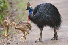 The cassowary was introduced to India from Australia as part of a prince's private zoo.
