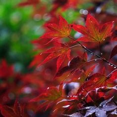 Autumn Blaze Maple Problems That are Not Comforting to the Tree Autumn Blaze Maple, Trees For Front Yard, Maple Tree, Beautiful Gardens, Landscape, Green, Flowers, Plants, Outdoors