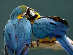 Photo: Two parrots perched on a branch