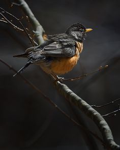The Connecticut state bird, the American Robin, also known as the American Thrush, in the early morning forest light.None