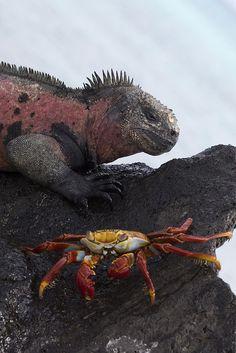 Marine Iguana and Sally Light Foot Crab - Galapagos Islands, Ecuador Isla Galapagos, Galapagos Islands, Reptiles And Amphibians, Mammals, Beautiful Creatures, Animals Beautiful, Marine Iguana, Mundo Animal, Fauna