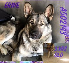 ADOPTED ❌❌CODE RED❌❌ 03/24/17~~PER SBC, ERNIE NEEDS OUT ASAP~~STAFF IS BEGGING~SICK~~STILL LISTED AND VERY URGENT WAS DUE OUT 03/21❌❌PAST DUE  CAN BE KILLED FOR SPACE AT ANY TIME❌❌911❌❌ERNIE ID #A502143 (DUE OUT ON 03/21) black & white German Shepherd/Akita mix. about 3 years old. I have been at the shelter since Mar 14, 2017. Call: San Bernardino City Animal Control at (909) 384-1304