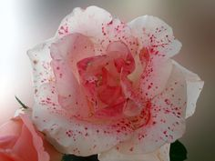 Unusual rose by Snezana Petrovic, via 500px