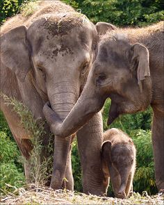 Tenderness by Martien Uiterweerd Indian Elephant, Elephant Love, Elephant Art, Elephant Family, Elephants Photos, Save The Elephants, Cute Baby Animals, Animals And Pets, Beautiful Creatures
