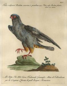 Falco volgarm.e Barletta cenerina, o piombina = Falco vulgo Barletta plumbeo colore, sive cinerea.