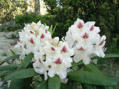 Rhododendron 'p. Types Of Flowers, Trees And Shrubs, Begonia, Clematis, Hedges, Daffodils, Color Mixing, Orchids, Art Projects