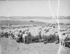 1935 Sheep in Palos Verdes.
