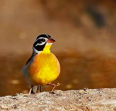 Golden-breasted Bunting (Emberiza flaviventris) Africa by Chris Krog
