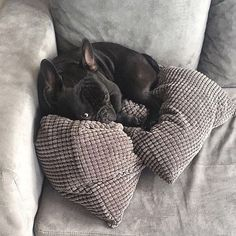 """""""Mommy please stop being annoying""""... """"I'm trying to sleep"""", French Bulldog Puppy"""