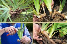 Oda a los iris (lirios) barbados, su cultivo y cuidados
