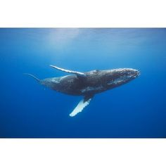 Humpback whale (Megaptera novaeangliae) underwater Hawaii United States of America Canvas Art - Dave Fleetham Design Pics (19 x 12)