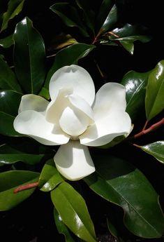 Botanical Flowers, Silk Flowers, White Flowers, Beautiful Flowers, Flor Magnolia, Magnolia Flower, Gardenias, My Flower, Flower Art