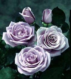 Sterling Silver Hybrid Tea Rose Bush  My favorite rose!