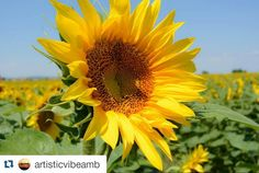 #Repost @artisticvibeamb with @repostapp I love this picture from @artisticvibeamb ! Gorgeous sunflowers!  #sunflowers #sun #flowers #nature #summer #misslastsummer #waiting #yellowflowers #flowersphotography #flowersphoto #photography #photo #art #nature #natureart #natureaddict #artisticvibe #amb #ro by torimiller87