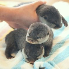 adorable asian short-clawed otter babies!!