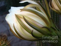 Organ Pipe Cactus Bud by Beverly Guilliams
