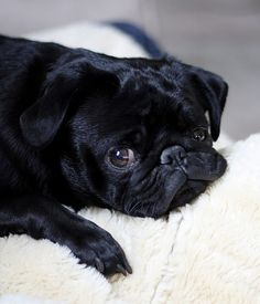 wouldn't you do just about anything when they look at you like this? Cute Pugs, Cute Puppies, Chinese Pug, Pug Wallpaper, Black Pug Puppies, Baby Pugs, Pug Pictures, Pug Life, Look At You